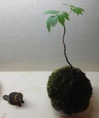 あるいはこんな苔玉さん。あ、ちなみに隣はタヌキさん。どもども。
