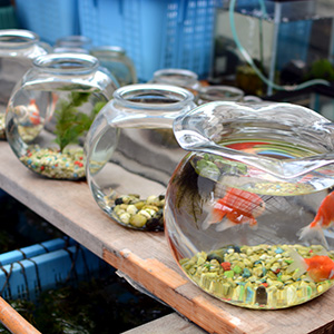 ザ・金魚鉢も入手可能。レンズ効果のない平らな面のものが近年人気。