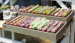 会期前半には会場に多肉BARが出現予定。その場でお好みの多肉を器に詰めてくれますよ。(日付け限定)