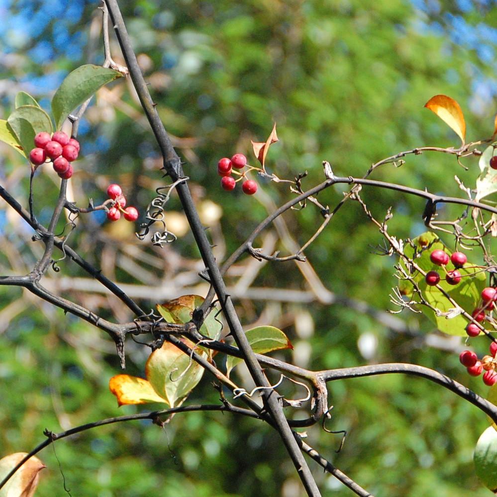 スワッグの素材⑦《サンキライ》春夏に爽やかな黄緑色の実がなり、その頃は山を見渡してもそれがどこにあるのか分かりづらいのですが、11月頃になると実が鮮やかな赤色になり一目で見つけることができます。サンキライはつる性の植物で、大きな木の枝葉に絡みつくように自生しています。小さなトゲだらけのため、実の採集は一苦労。高枝バサミで届く範囲を採集し山から持ち帰られます。