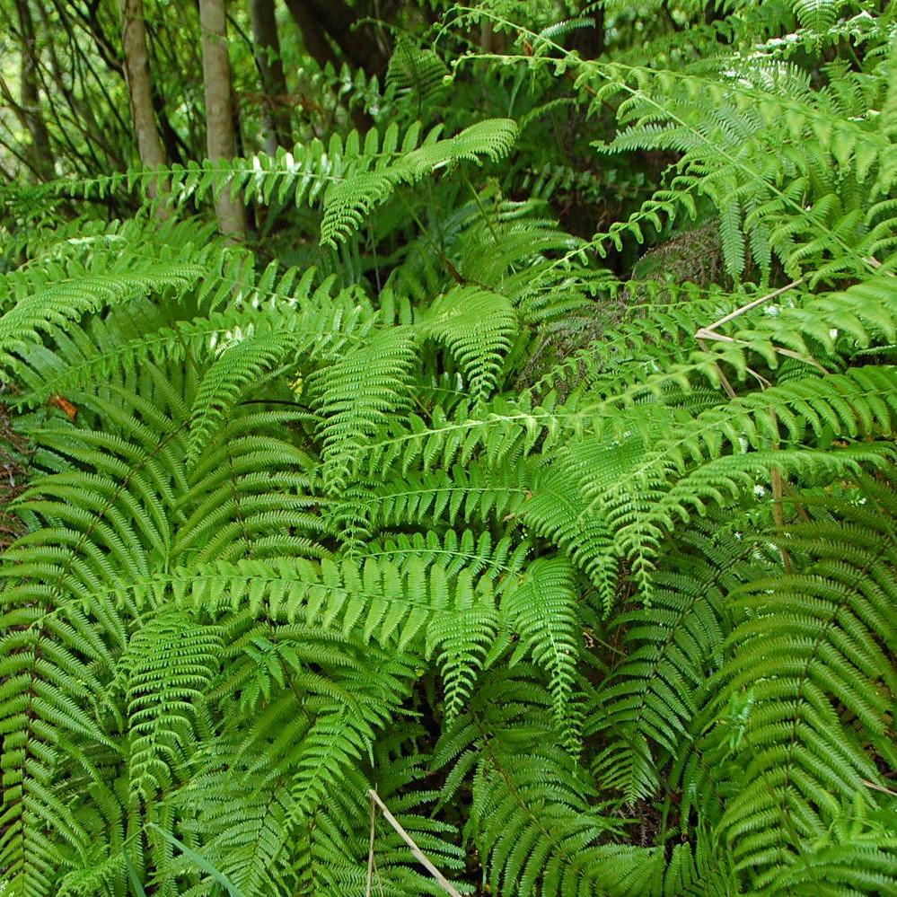 スワッグの素材④《シダ》森には様々な種類のシダ植物があります。一見同じように見えるものも、良く見てみると葉の形が微妙に違い面白いのです。
