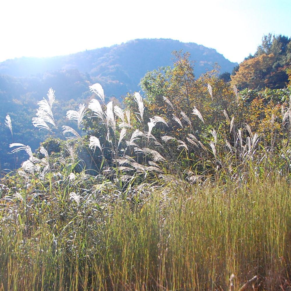 スワッグの素材③《ススキ》日本の秋の景色に欠かせないススキは、草原が森林化していく一番初めに出てくる植物。地表にしっかりと根を張り森の地盤を固めてくれます。