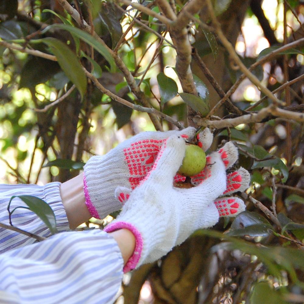スワッグの素材⑥《ヤブツバキ》六月八日の森に自生しているヤブツバキの木は、山の斜面にあります。これを秋の彼岸頃のまだ実の青いうちに採集し数日間乾燥させた後、種から椿油を抽出します。六月八日のスタッフさん手作りの実採り棒で一つ一つ丁寧に採られたものです。