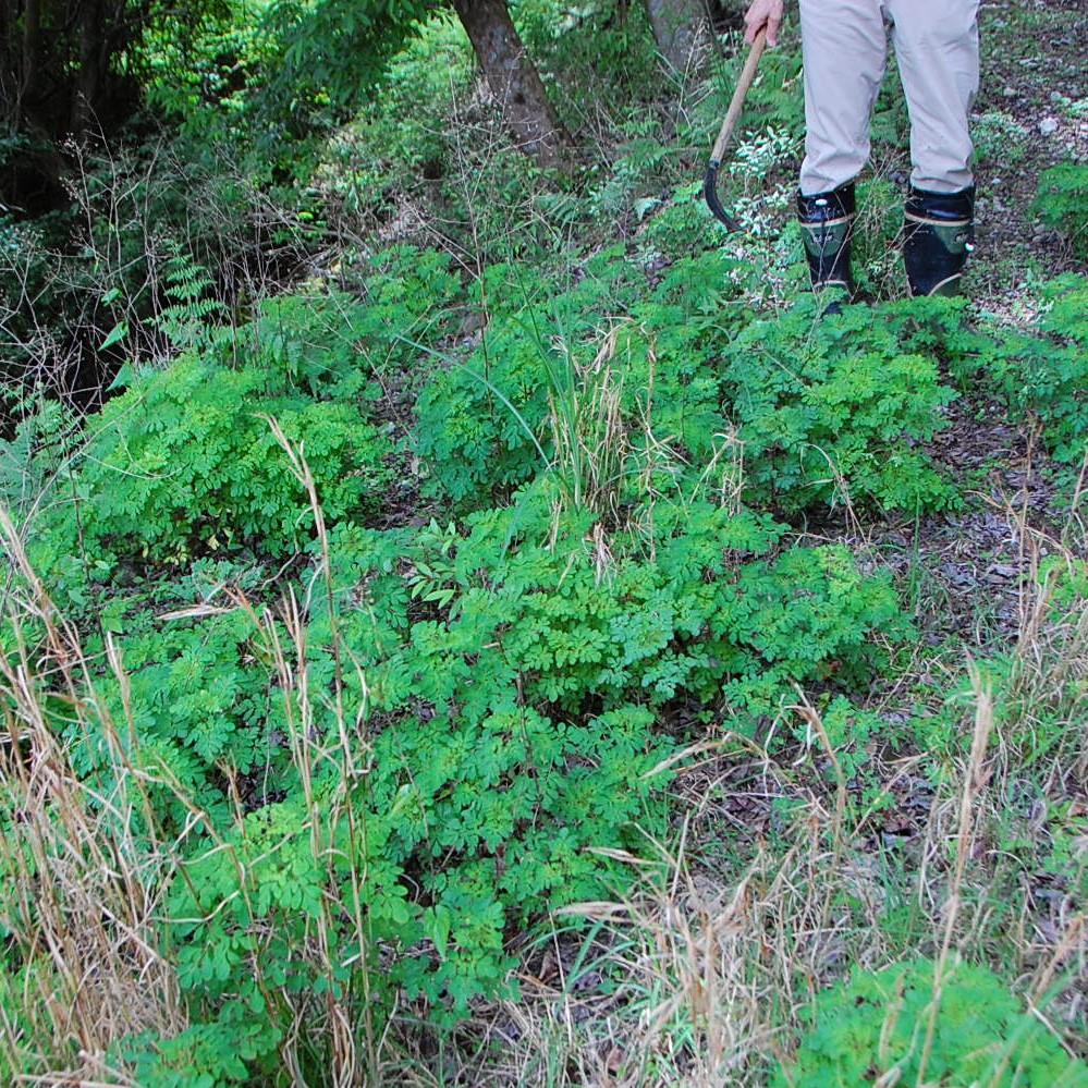 スワッグの素材⑤《マツカゼソウ》森では「マツカゼソウの群生があるところには、鹿がいる」と言われています。鹿はマツカゼソウを嫌がり、それ以外の生えている植物を食べ尽くしてしまうため、その場所はマツカゼソウにとってはライバルの植物がいなくなり、どんどん生育を広げていくからなのだそうです。