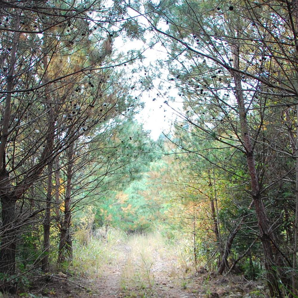 スワッグの素材⑧《マツボックリ》六月八日の森の林道を登っていく山の上に松林があります。そこは山の尾根筋で土が乾いているため、乾燥地に強い松が自然と生き残っていきます。ここでは一年中たくさんのマツボックリが採れます。