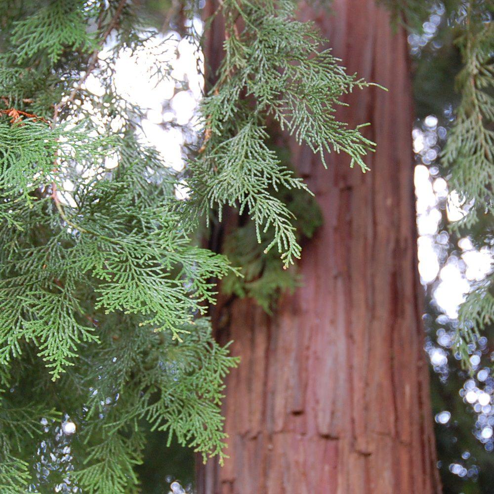 スワッグの素材①《ヒノキ》ヒノキは日本の森の代表的な樹木。神社建築や舞台、檜風呂などにも使われている、日本人に馴染みの深い木です。じっと根を張り動くことのできない樹木たちは、傷つくと自らの身を守るためフィトンチッドという香り成分を発散します。森に佇む幹に触れると、その節からも独特な芳香を感じることができます。