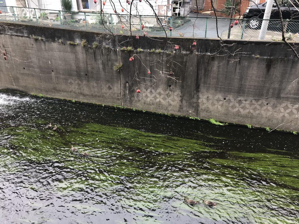 寒い小雨の妙正寺川。柿の実はもう過熟。鴨が6羽います。