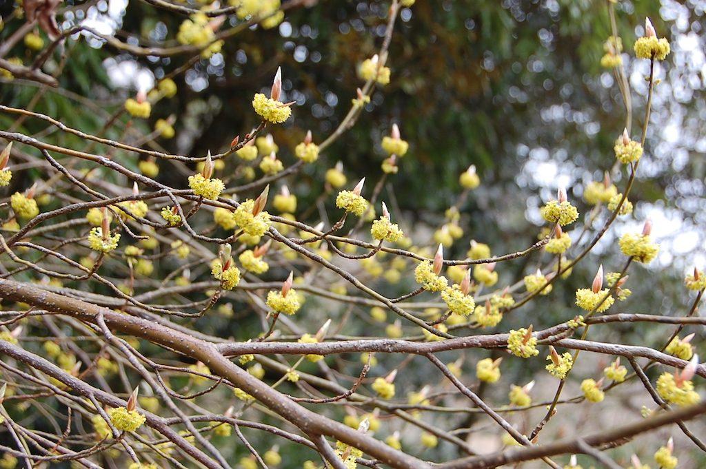 kuromojiflower